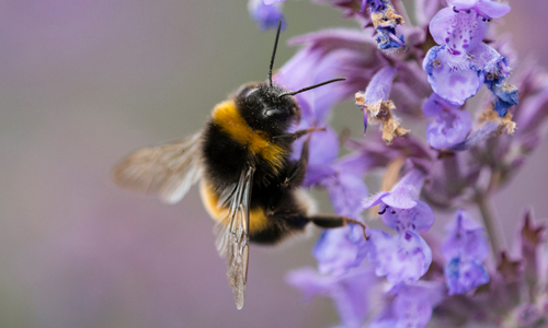 Bumblebee feeding on purple flowers